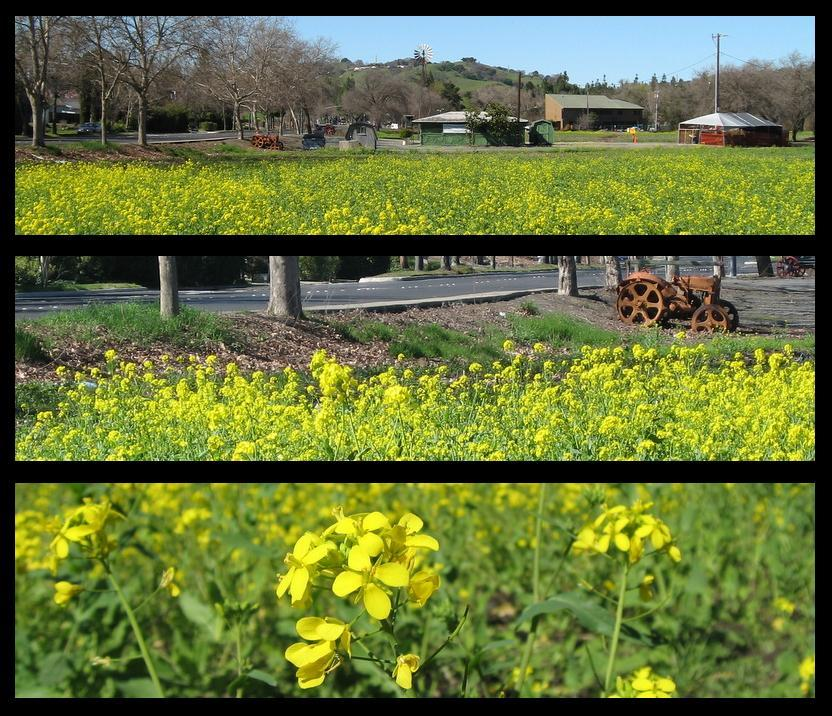 PHOTO SUMMARY: Manginis mustard flowers