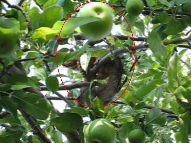 Squirrel throwing apple